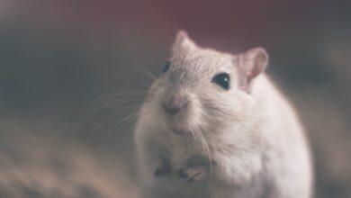 skadedyr rotte
