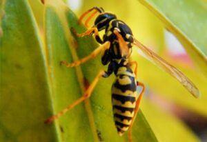 Bekæmpelse af hveps