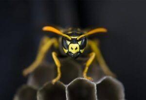 Bekæmpelse af hvepsebo