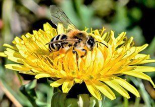 bier samler pollen