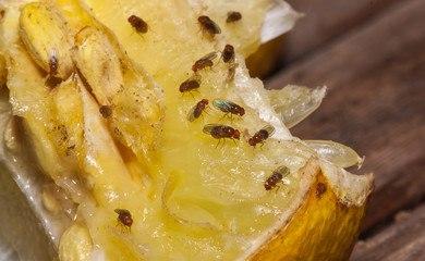 Biologi og adfærd af bananfluer