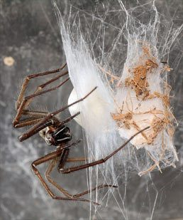 Edderkoppers formering