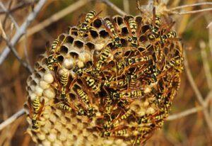 Hvepse Biologi og adfærd