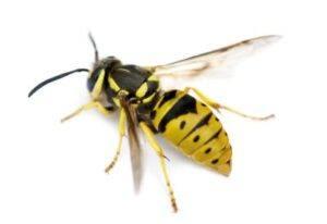 Hvepses livscyklus
