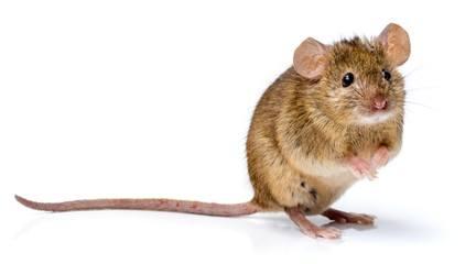 kan mus kravle op af vægge