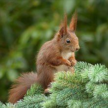 Rød egern