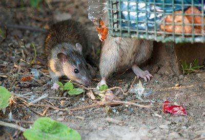 Rotter og Rottebekæmpelse
