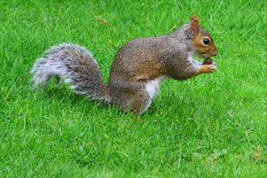 egern med en nød