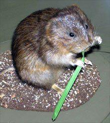Mosegrise er ikke rotter
